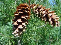 Pine Cones...because your child can make cute crafts out of them. Yeah, OK.